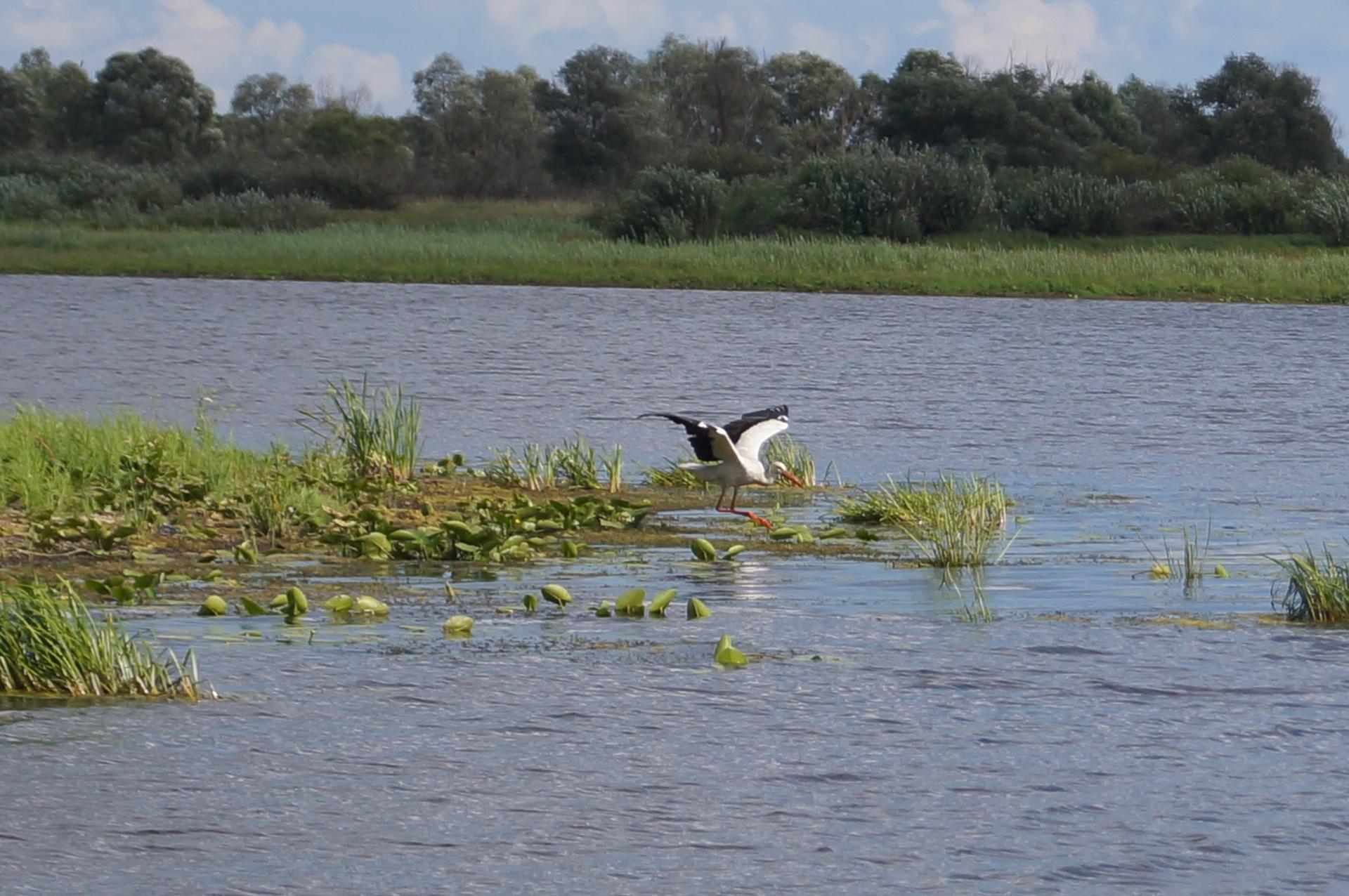 аист на озере в Петрикове
