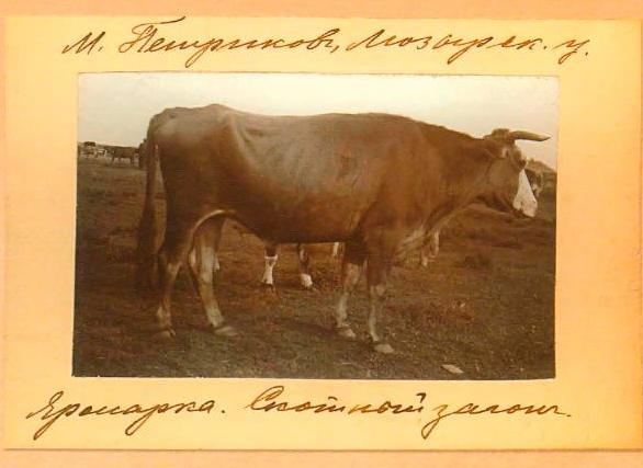 волы - Петриков 1912